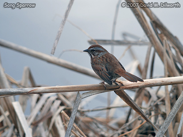320m3 Song Sparrow