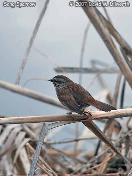 v320m4 Song Sparrow