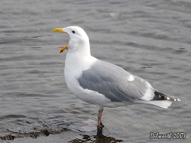 332 Herring Gull Hybrid