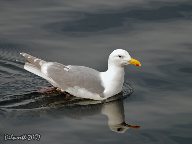 333 Herring Gull Hybrid