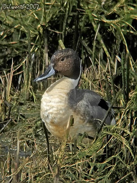 v335 Northern Pintail
