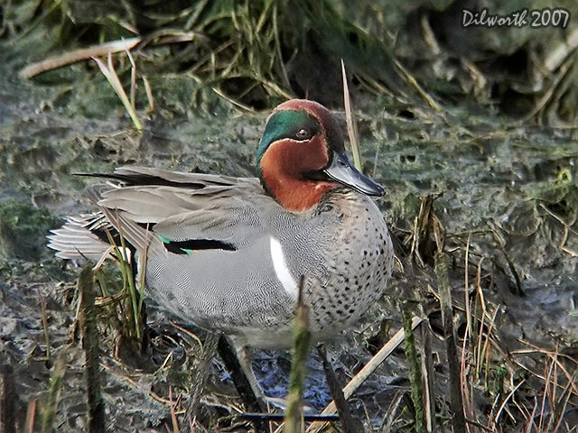 337 Green-winged Teal