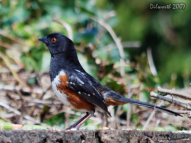 338 Spotted Towhee