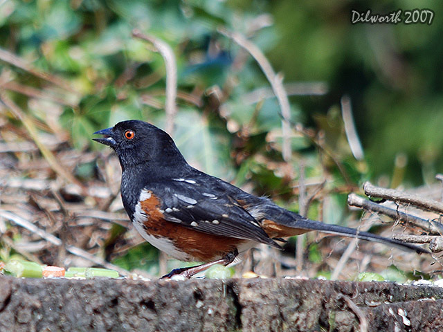 338m Spotted Towhee