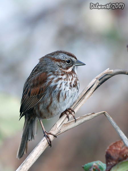 v339m Song Sparrow