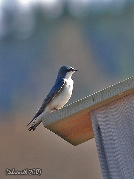 v341 Tree Swallow