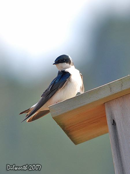 v341m1 Tree Swallow
