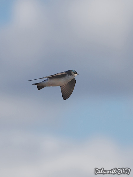 v342 Tree Swallow