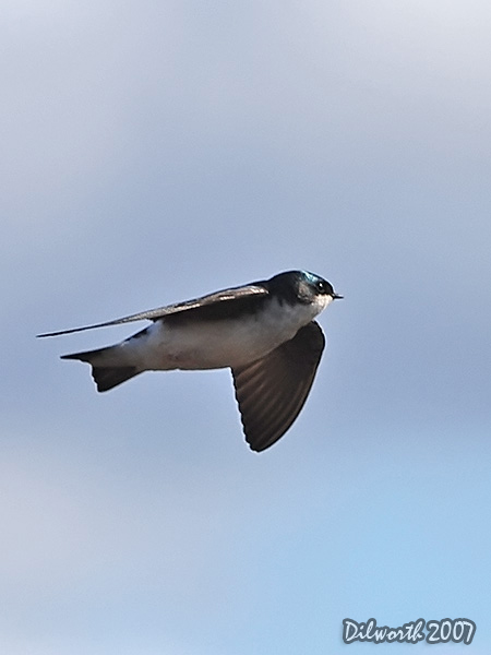 v342m1 Tree Swallow