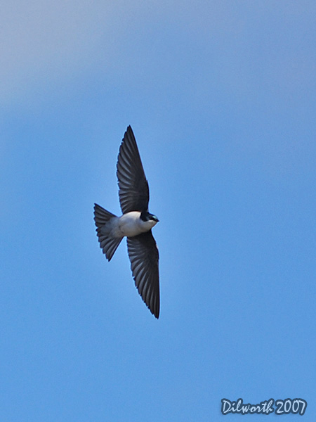 v342m2 Tree Swallow