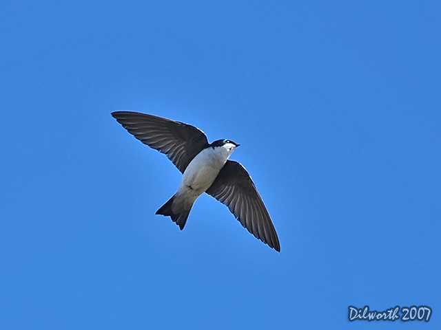 342m3 Tree Swallow