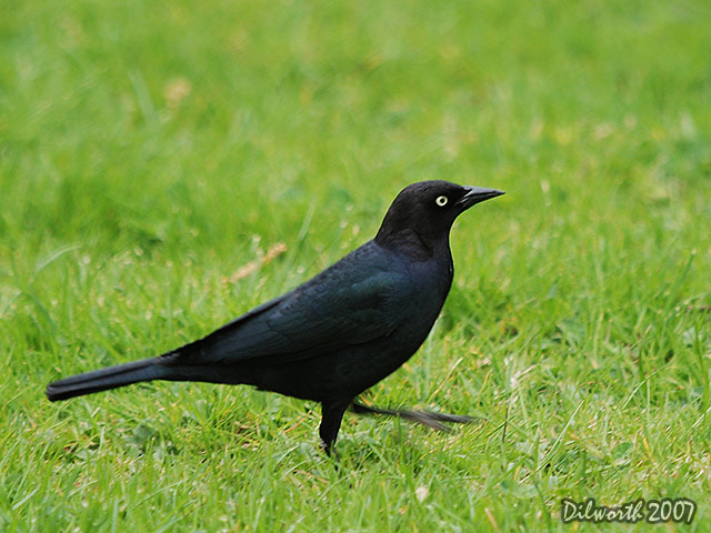 346 Brewer's Blackbird
