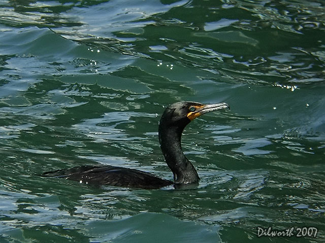 349 Double-crested Cormorant