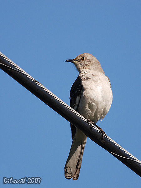 v369 Northern Mockingbird
