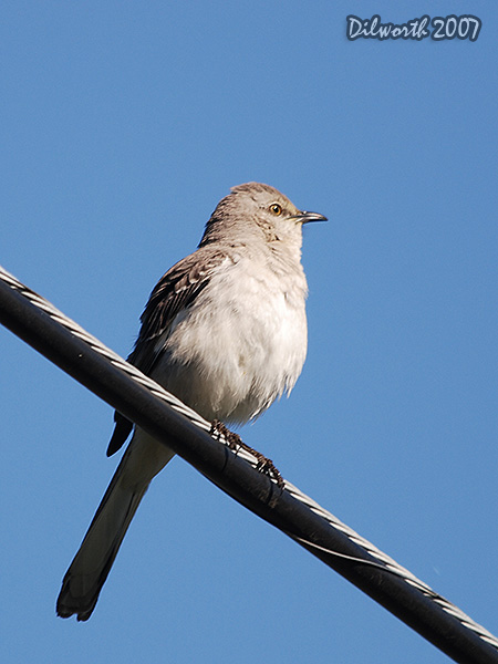 v369m1 Northern Mockingbird