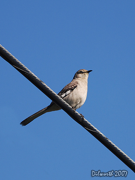 v369m2 Northern Mockingbird
