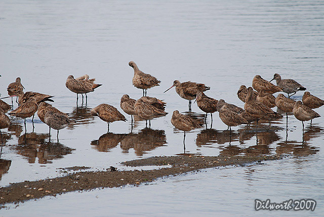 387 Marbled Godwits