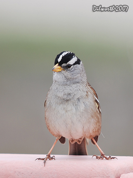 v390 White-crowned Sparrow