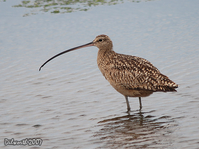 394 Long-billed Curlew