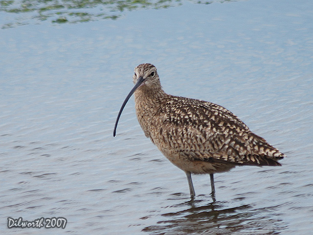 394m Long-billed Curlew