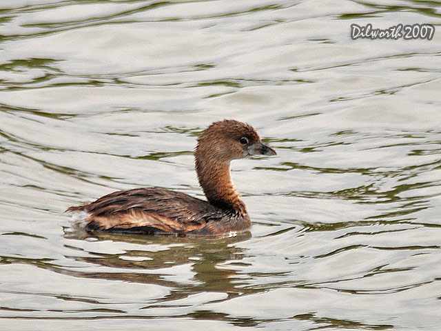 396m1 Pied-billed Grebe