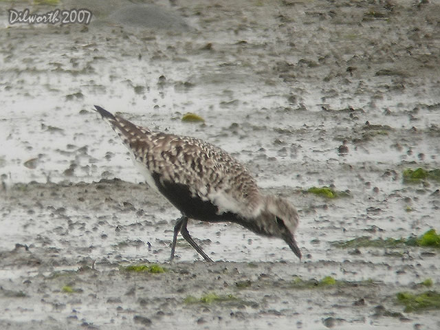 402 Black-bellied Plover