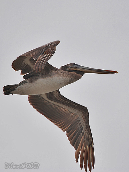 v404 Brown Pelican