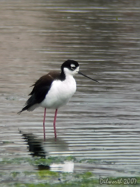 v405 Black-necked Stilt