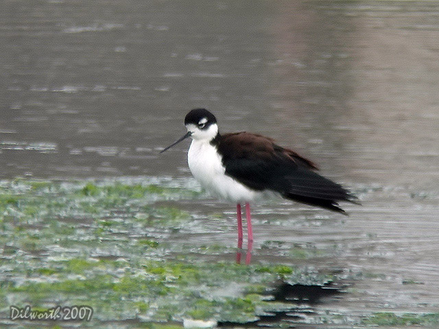 405m1 Black-necked Stilt