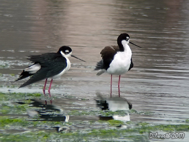 405m2 Black-necked Stilt