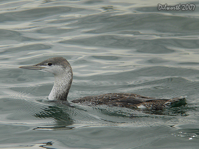 407m1 Red-throated Loon