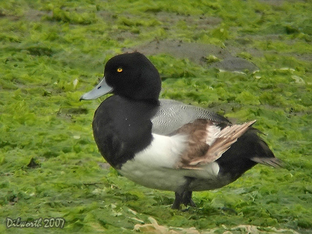 409 Greater Scaup