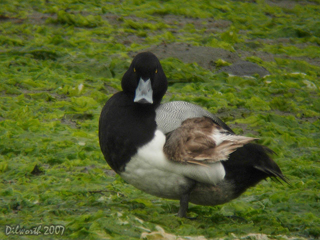 409m1 Greater Scaup
