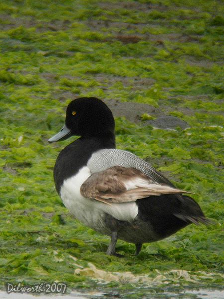 409m3 Greater Scaup