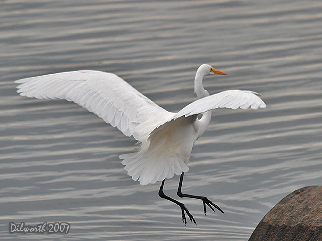 414 Great Egret