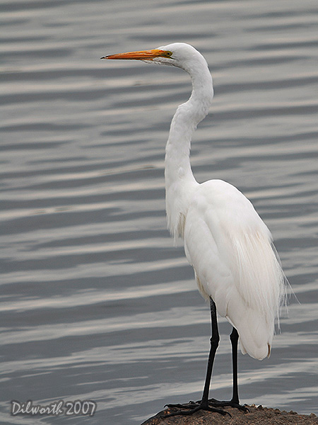v414m1 Great Egret
