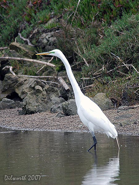 v414m2 Great Egret
