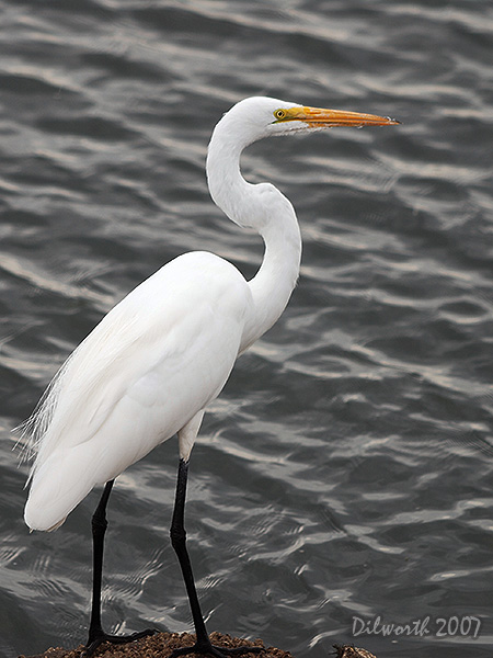 v414m3 Great Egret
