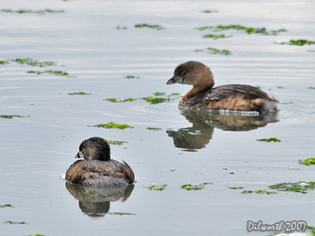 415 Pied-billed Grebe