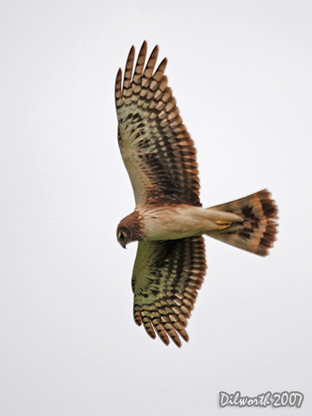 v417 Northern Harrier
