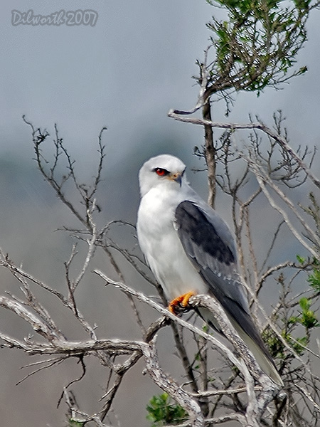 v418 White-tailed Kite