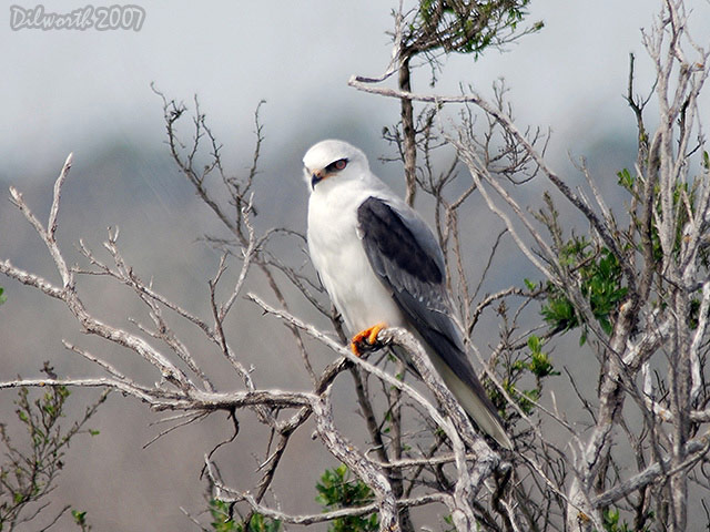 418m1 White-tailed Kite