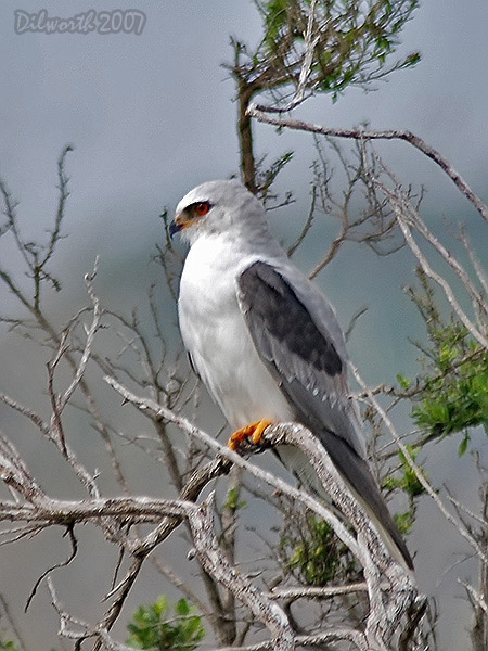 v418m2 White-tailed Kite