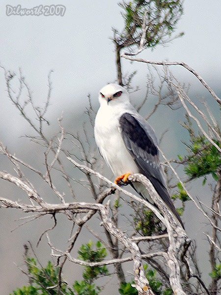 v418m3 White-tailed Kite