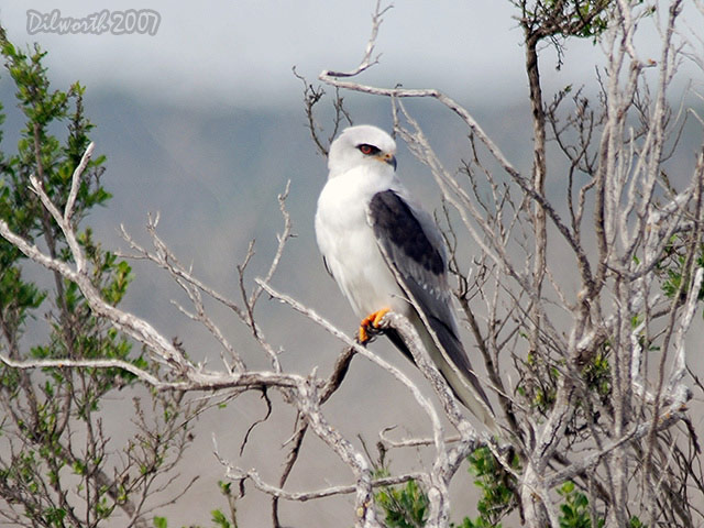418m4 White-tailed Kite