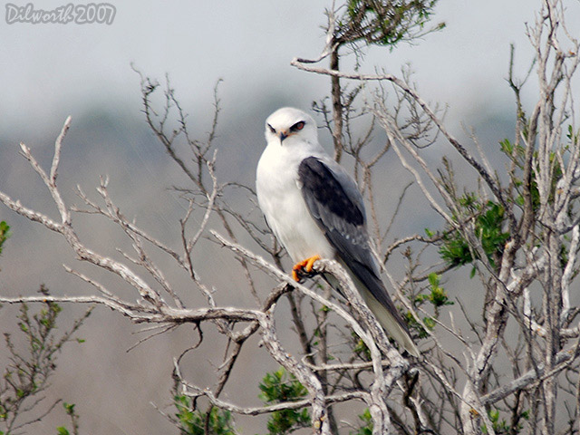 418m5 White-tailed Kite