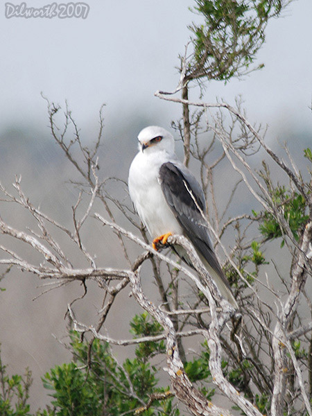 v418m6 White-tailed Kite