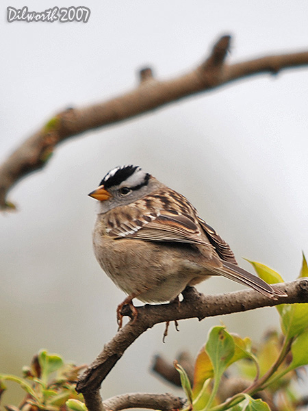 v420 White-crowned Sparrow