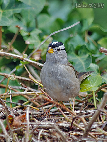v420m White-crowned Sparrow