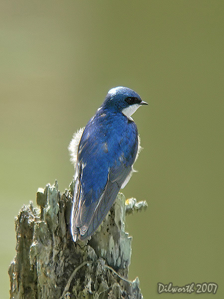 v422 Tree Swallow